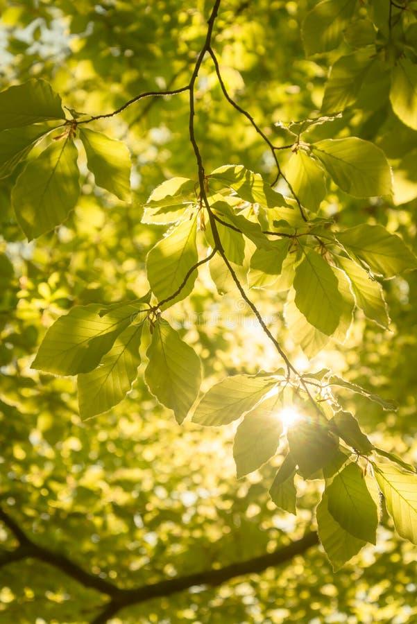Foglie verdi del chesnut nella lampadina del sole fotografia stock