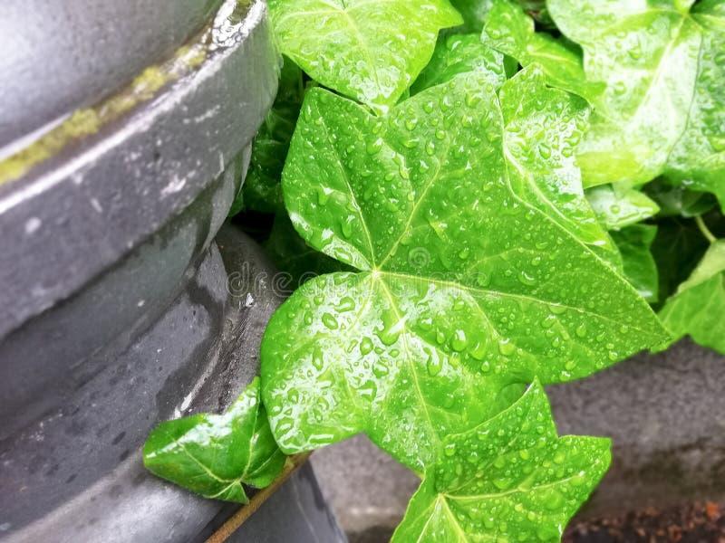 Foglie verdi del fondo dell'edera fotografia stock libera da diritti