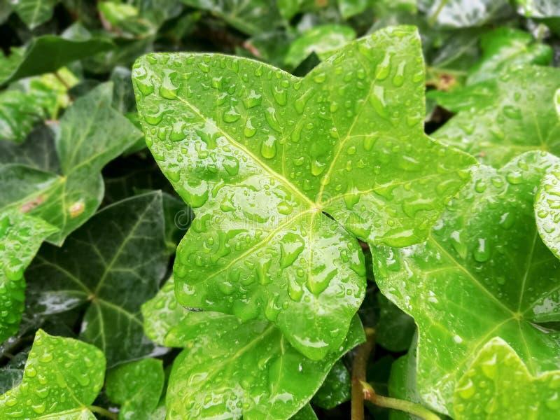 Foglie verdi del fondo dell'edera immagini stock
