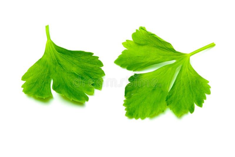 Foglie verdi del sedano isolate su fondo bianco E fotografia stock libera da diritti