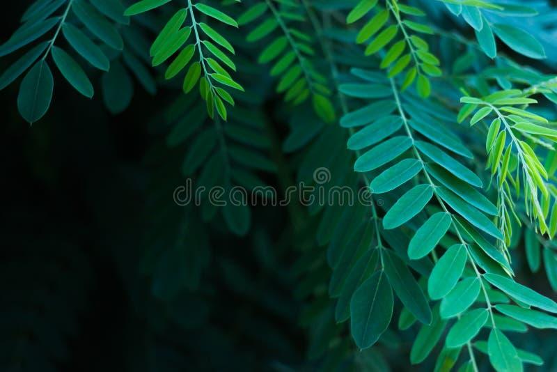 Foglie verdi dell'acacia alla luce solare fotografia stock libera da diritti