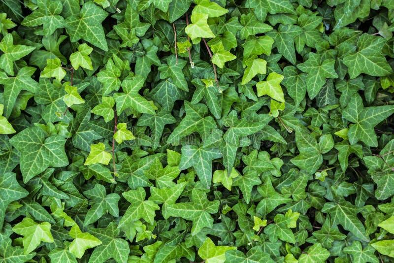 Foglie verdi dell'edera, piante, struttura verde astratta, fondo della natura, modello fotografia stock libera da diritti