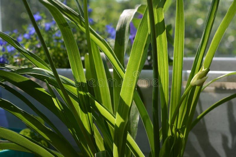 Foglie verdi dell'emerocallide nel giorno soleggiato Inverdimento del balcone fotografia stock libera da diritti