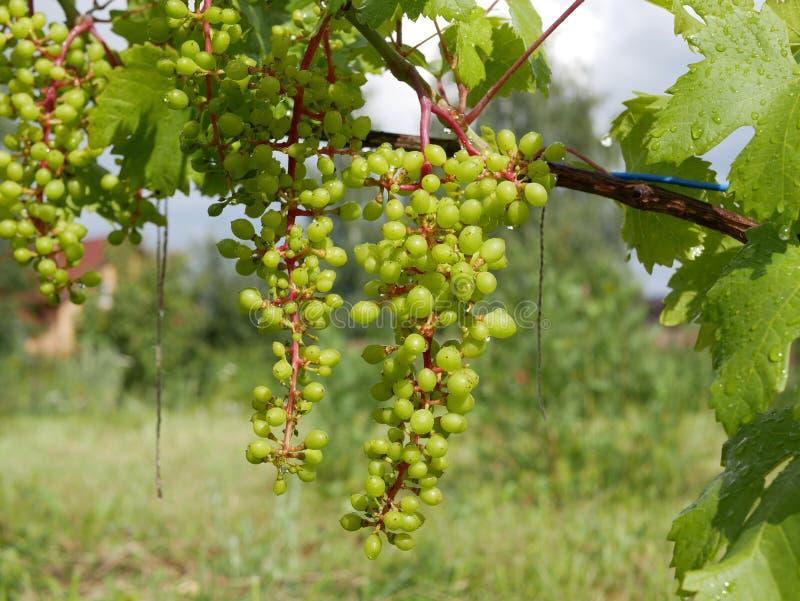 Foglie verdi dell'uva e bacche non mature con le gocce di pioggia un giorno di estate soleggiato fotografie stock