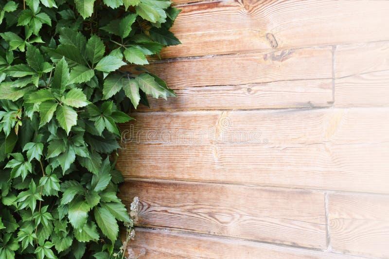Foglie verdi dell'uva selvaggia su fondo di legno naturale fotografia stock