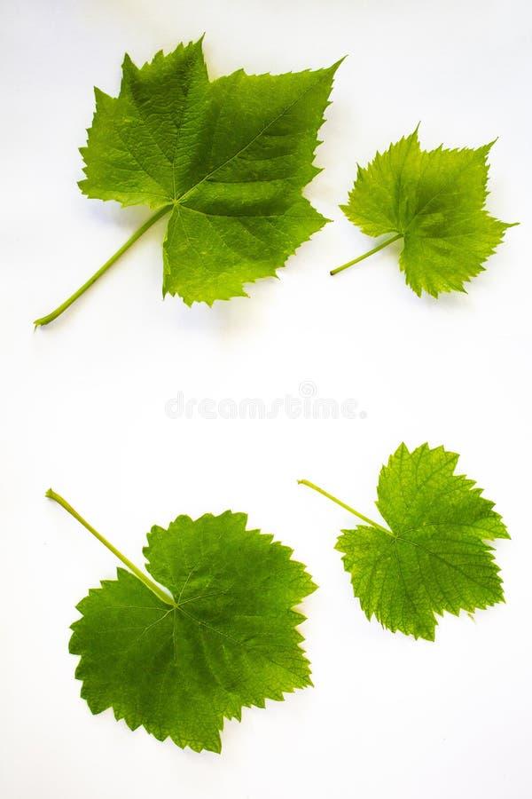 4 foglie verdi dell'uva su un fondo bianco fotografie stock