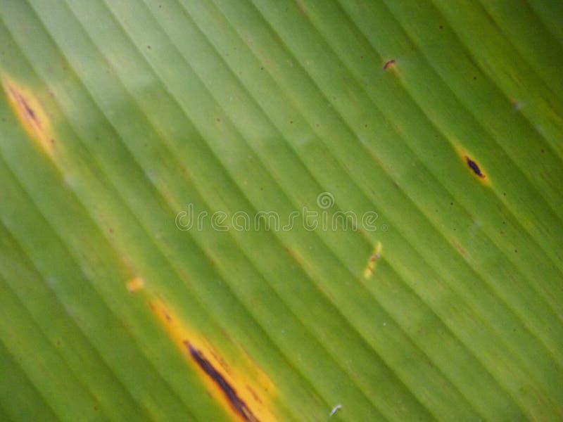 Foglie verdi della banana fotografie stock