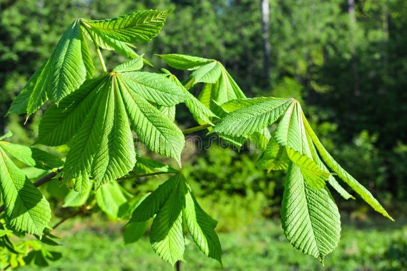 Foglie verdi della castagna sui precedenti della foresta immagine stock libera da diritti
