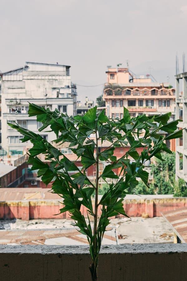 Foglie verdi della palma che crescono in un vaso sopra sul balcone immagine stock libera da diritti