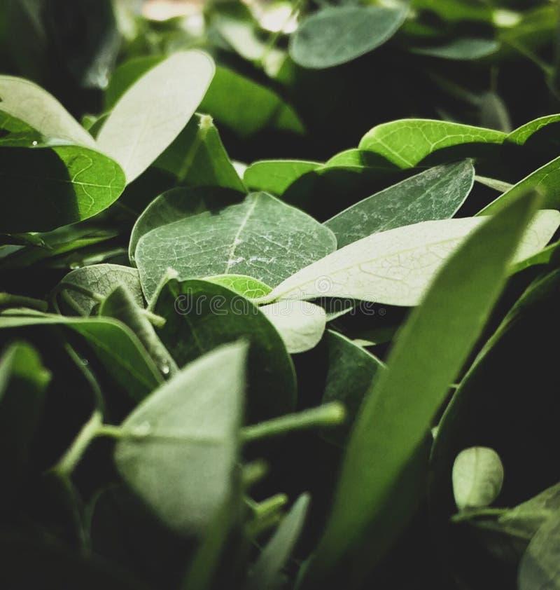 Foglie verdi della pianta fotografia stock