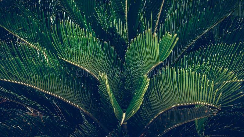 Foglie verdi della pianta dell'albero del plam del cycad, dei cycads pianta o del plam del sagù fotografia stock