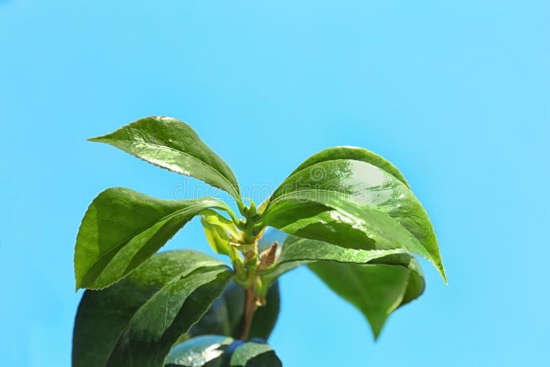 Foglie verdi della pianta di tè contro cielo blu immagine stock