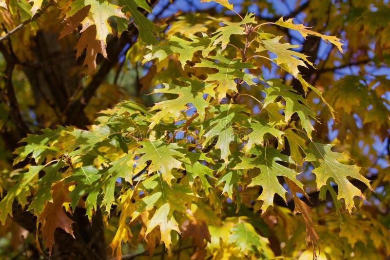 Foglie verdi della quercia gialla sull'albero fotografia stock