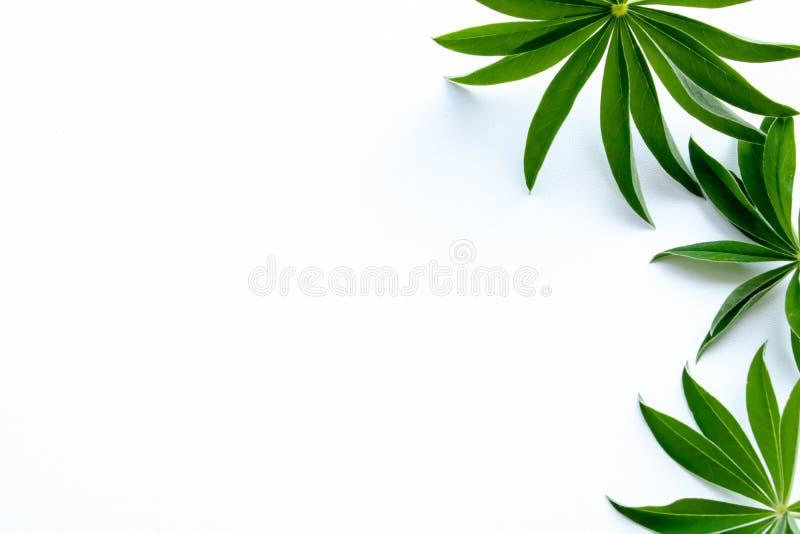 Foglie verdi a destra sulla cartolina bianca del fondo fotografia stock libera da diritti