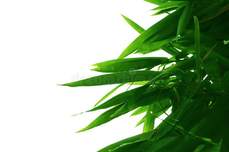 Foglie verdi di bambù sul ramo dell'albero, forma isolato su fondo bianco immagini stock