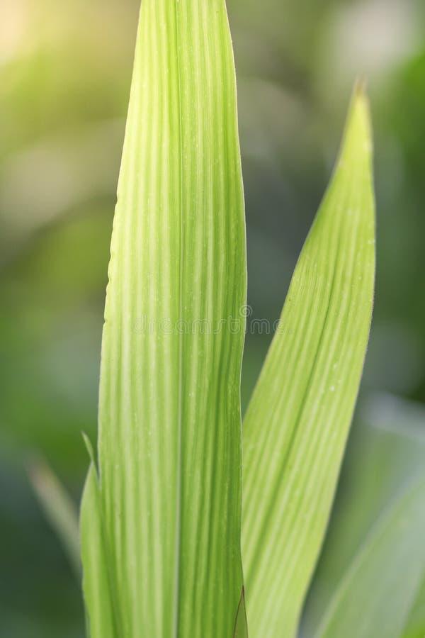 Foglie verdi di cereale pianta con le grandi foglie lunghe fotografie stock libere da diritti