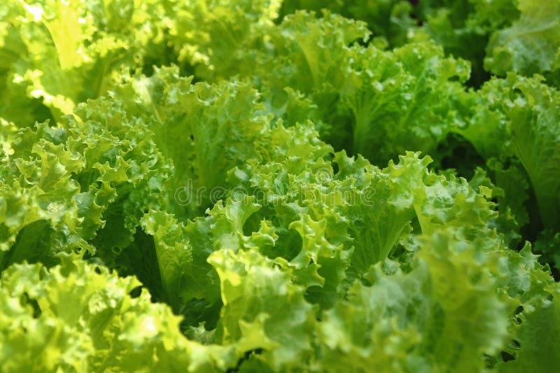 Foglie verdi di insalata su un letto del giardino fotografie stock