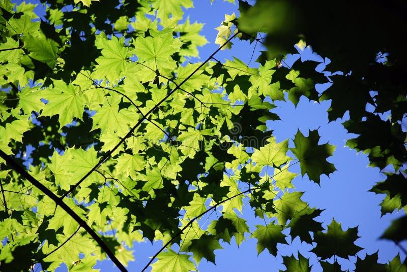 Foglie verdi di un acero contro lo sfondo del cielo blu in sole immagine stock libera da diritti