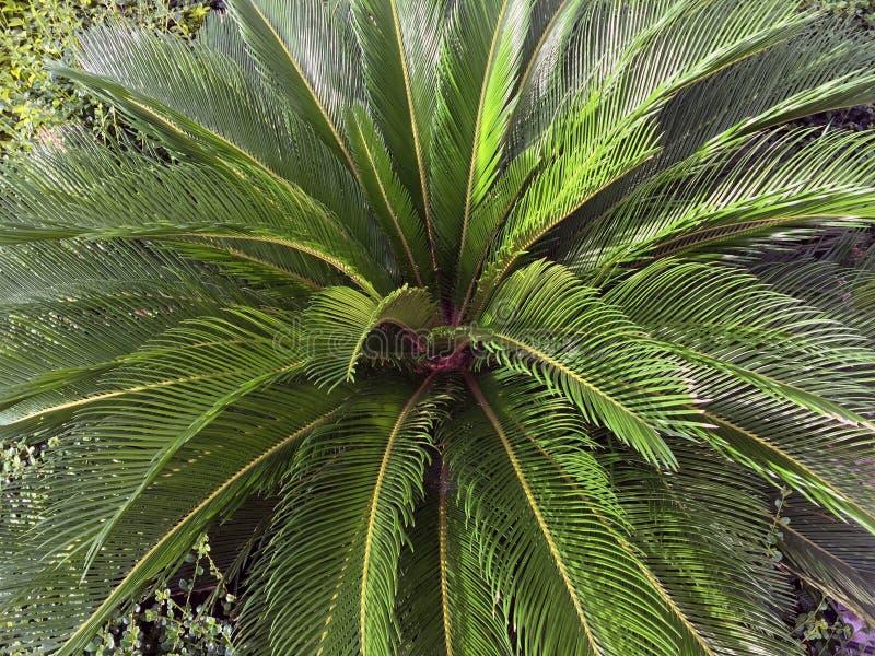 Foglie verdi di uso della pianta della palma del Cycad per il giardino ed il parco de immagini stock libere da diritti