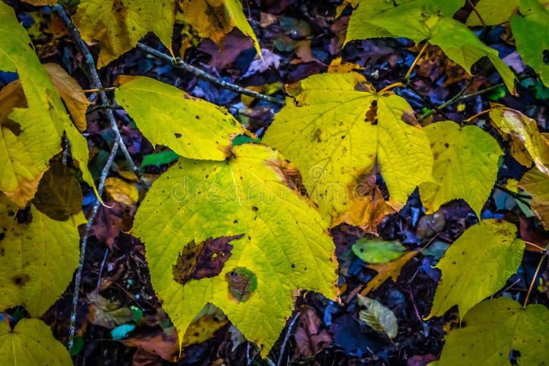 Foglie verdi dorate nel parco in autunno immagini stock