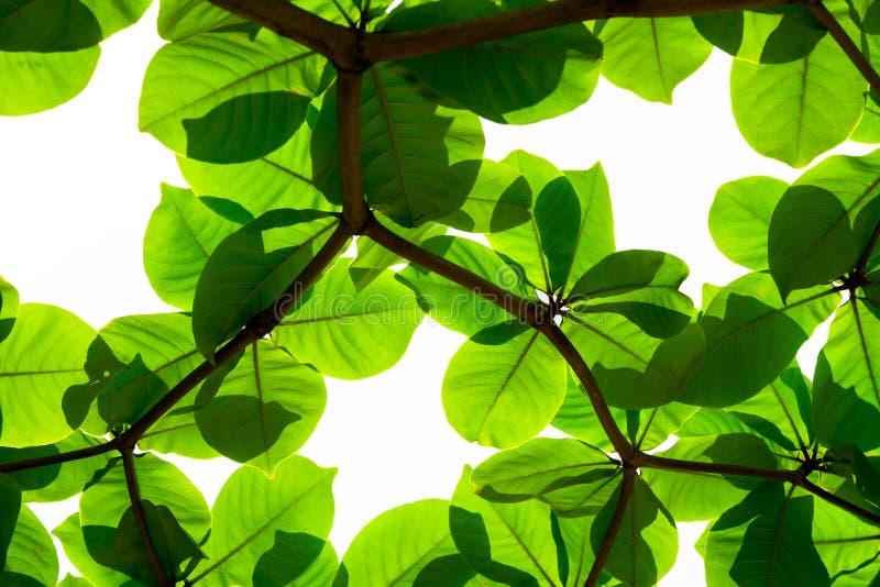 Foglie verdi e rami freschi su fondo bianco fotografia stock libera da diritti