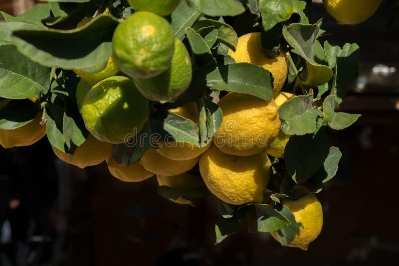 Foglie verdi e ramo dei limoni all'azienda agricola israeliana fotografia stock