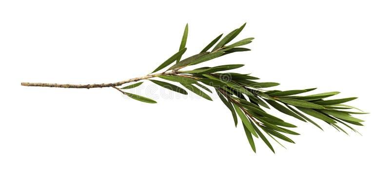 Foglie verdi e ramo dell'albero della spazzola di bottiglia isolato su fondo bianco immagine stock libera da diritti