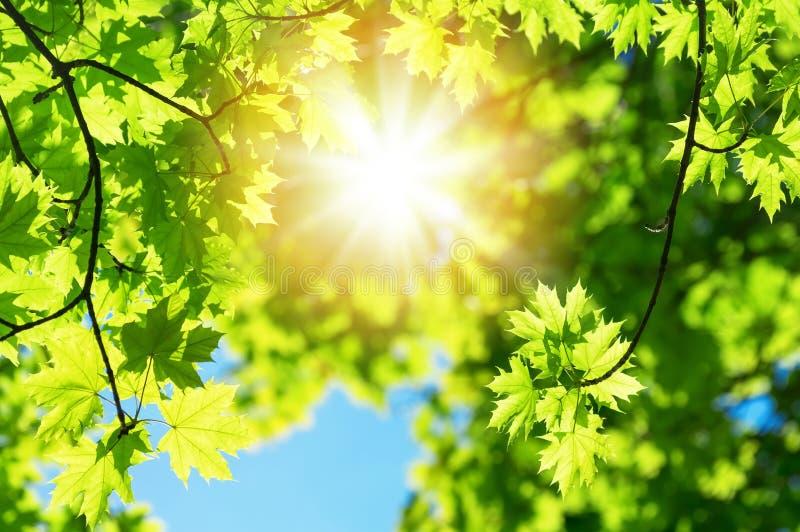 Foglie verdi fertili dell'albero di acero fotografie stock libere da diritti
