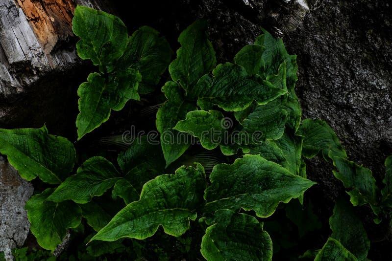 Foglie verdi fra il legno e le rocce fotografie stock libere da diritti