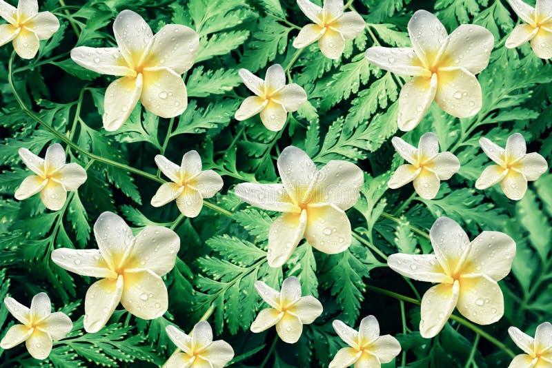 Foglie verdi fresche con il fiore di plumaria, fondo della carta da parati della natura della molla fotografia stock libera da diritti