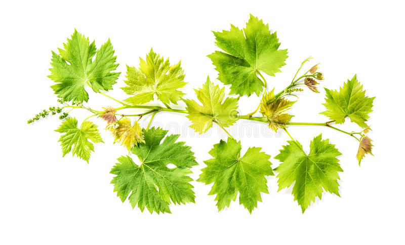 Foglie verdi fresche del fondo bianco isolate foglia di vite dell'uva fotografia stock libera da diritti