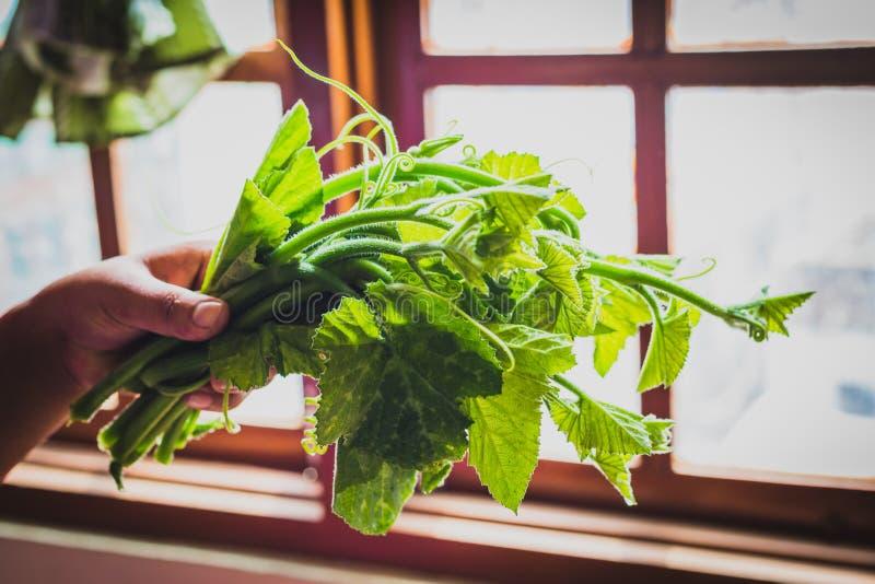 Foglie verdi fresche della zucca con la mano fotografie stock libere da diritti
