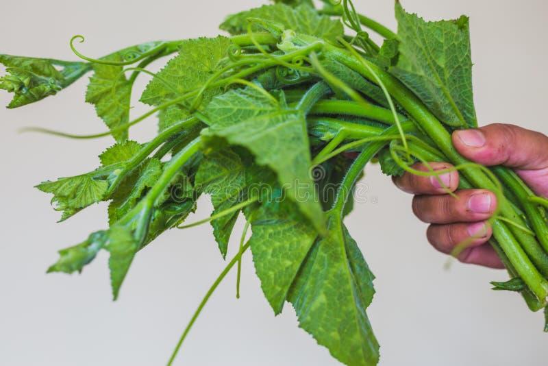 Foglie verdi fresche della zucca con la mano immagine stock libera da diritti