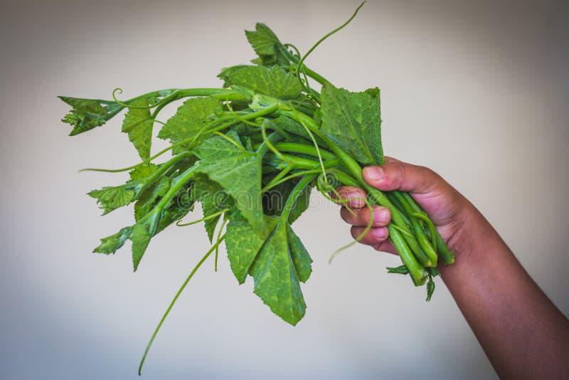 Foglie verdi fresche della zucca con la mano fotografia stock libera da diritti