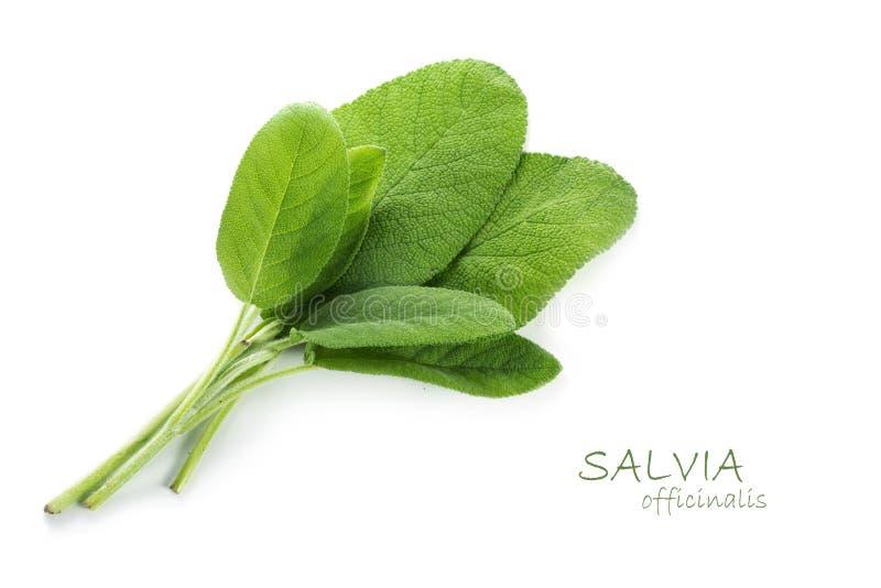 Foglie verdi fresche di salvia, salvia officinalis, isolato con MP immagini stock libere da diritti