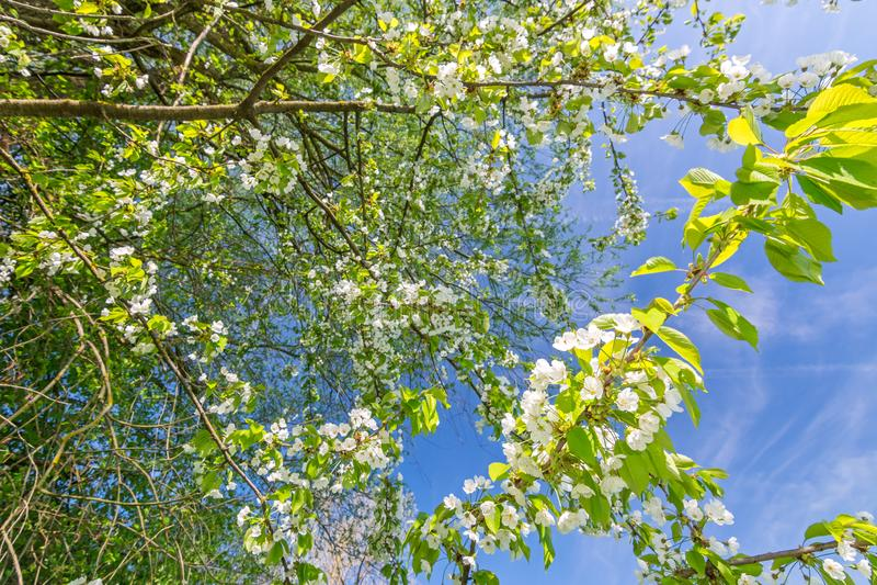 Foglie verdi fresche e fiori bianchi su un albero in primavera immagini stock