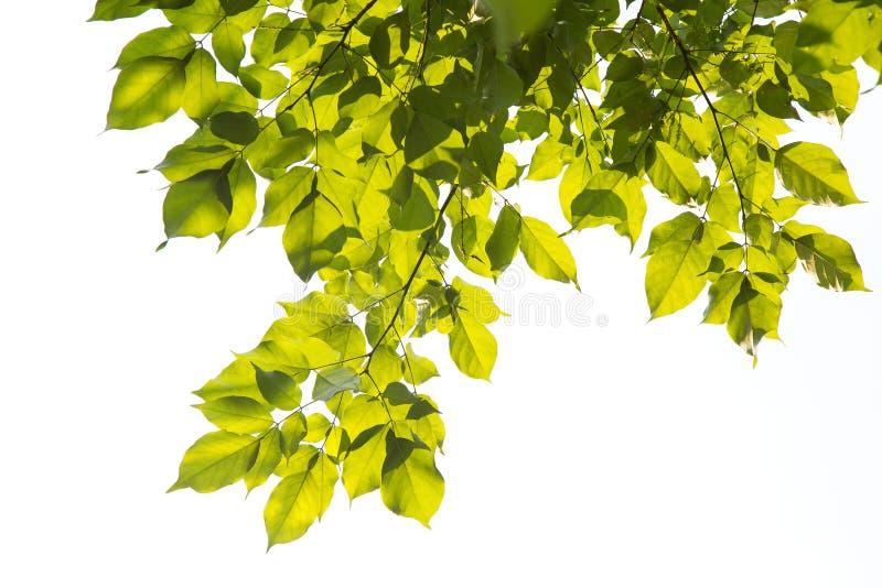 Foglie verdi, luce solare, riflessione isolate su fondo bianco fotografie stock