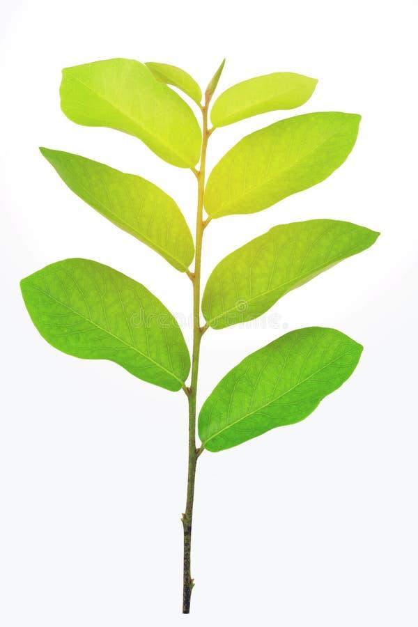 Foglie verdi, luce solare, riflessione isolate su fondo bianco fotografia stock libera da diritti