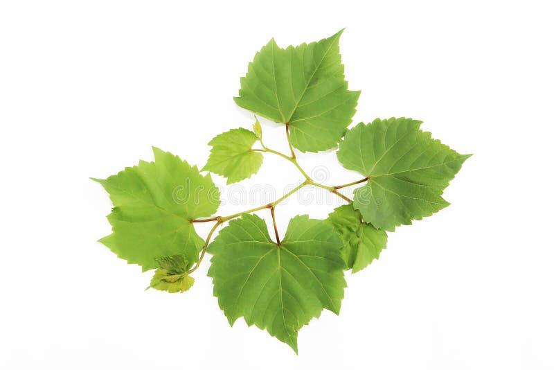 Foglie verdi naturali dell'uva con le vene su un fondo bianco fotografia stock libera da diritti
