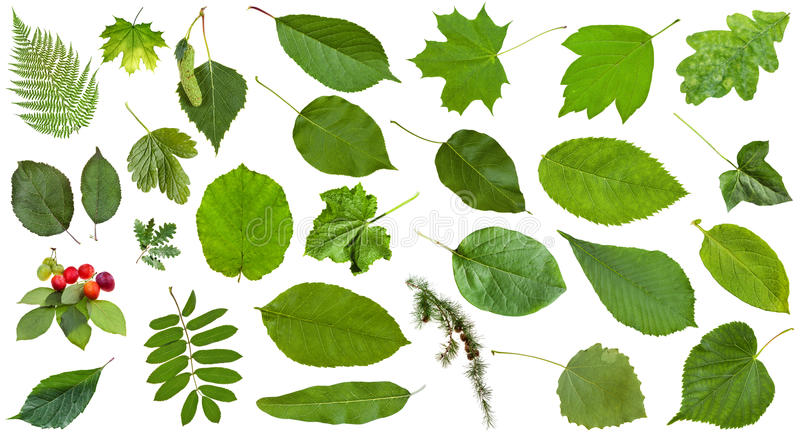 Foglie verdi naturali isolate su bianco immagine stock libera da diritti