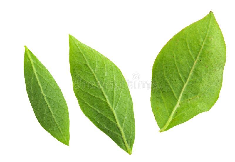 Foglie verdi posteriori del primo piano dei mirtilli blu del mirtillo rosso - vaccinium corymbosum immagini stock libere da diritti