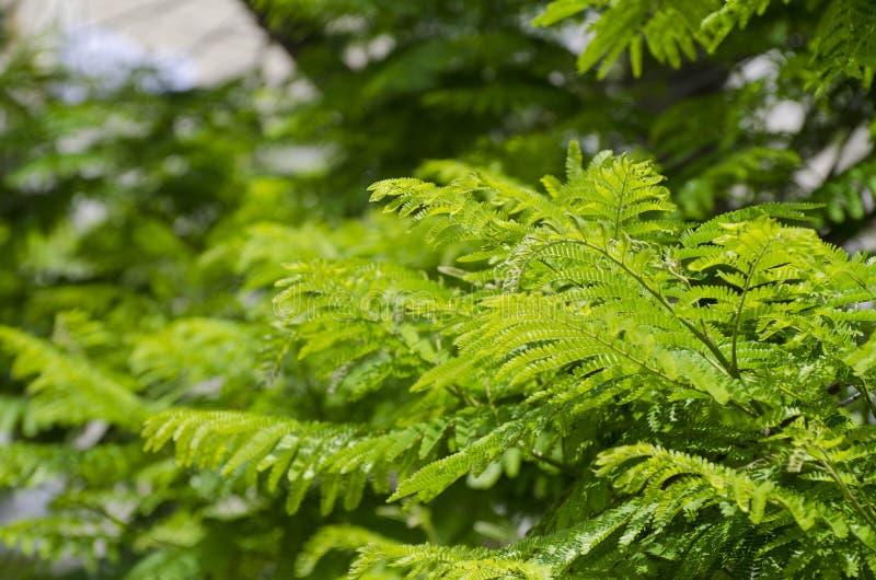 Foglie verdi reali di delonix regia o di Poinciana fotografia stock libera da diritti