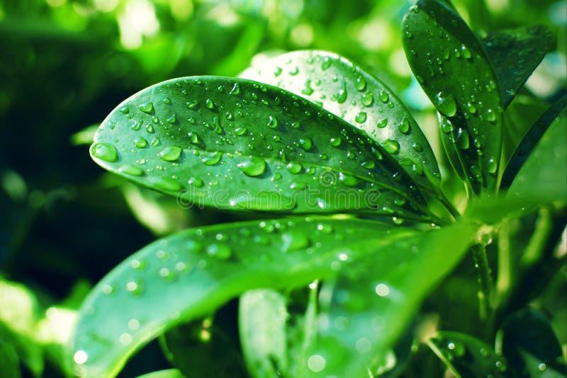Foglie verdi spesse liscie di arboricola dello Schefflera coperte di gocce di pioggia alla luce solare fotografia stock libera da diritti