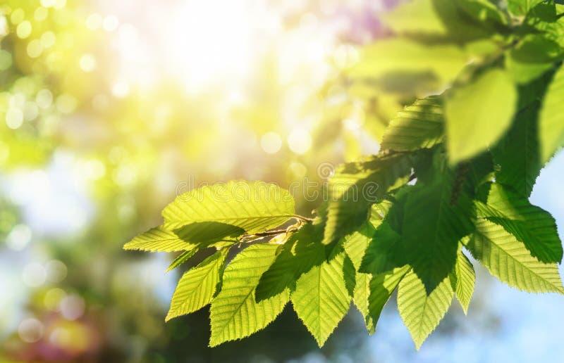 Foglie verdi su un ramo con il sole nei precedenti immagini stock libere da diritti