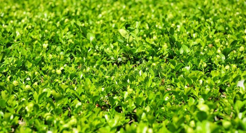 Foglie verdi sui rami del Buxus con lo spazio della copia fotografia stock