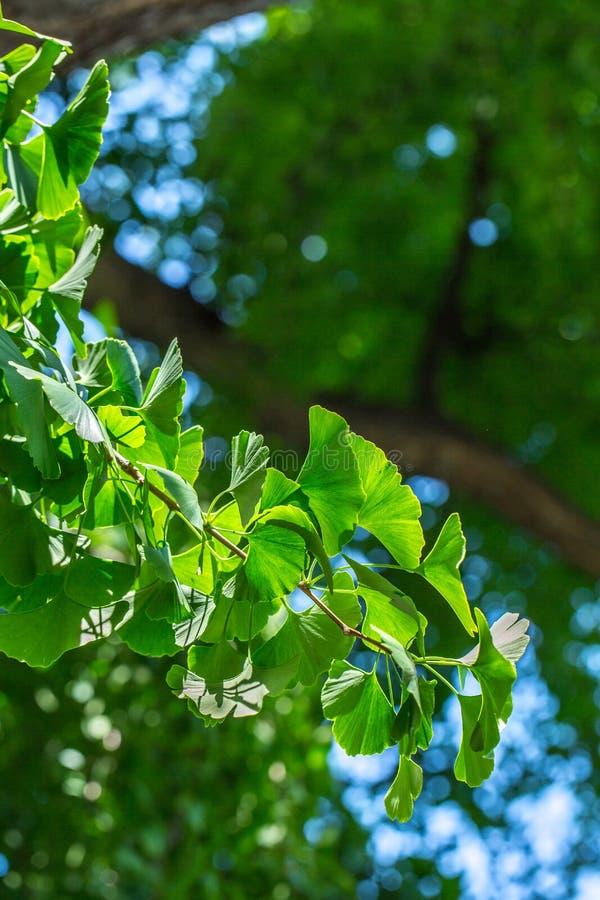 Foglie verdi sul ramo dell'albero del ginkgo biloba immagine stock libera da diritti