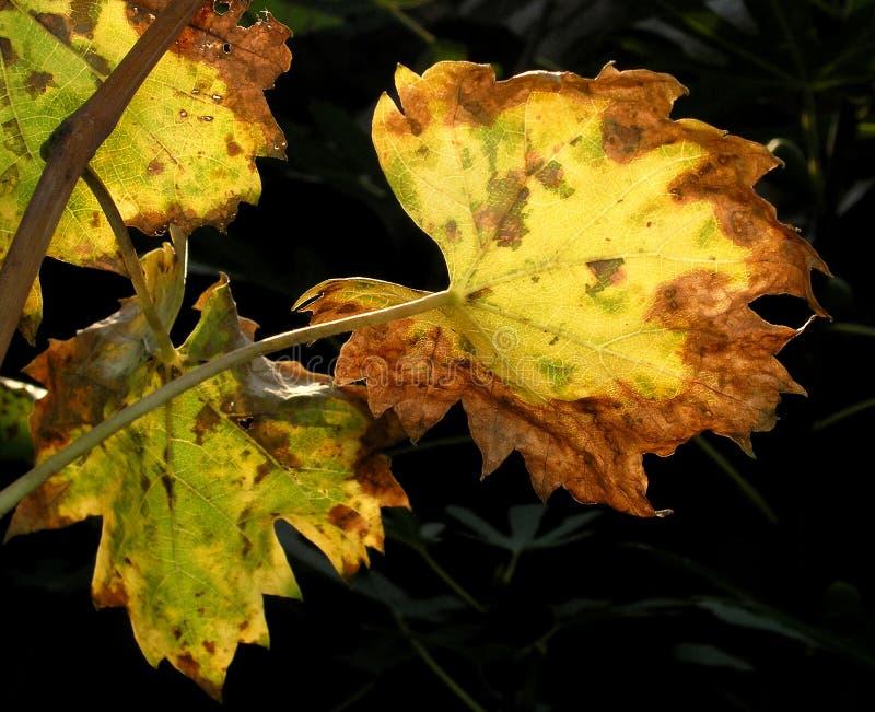 Foglio 05 dell'uva immagini stock libere da diritti