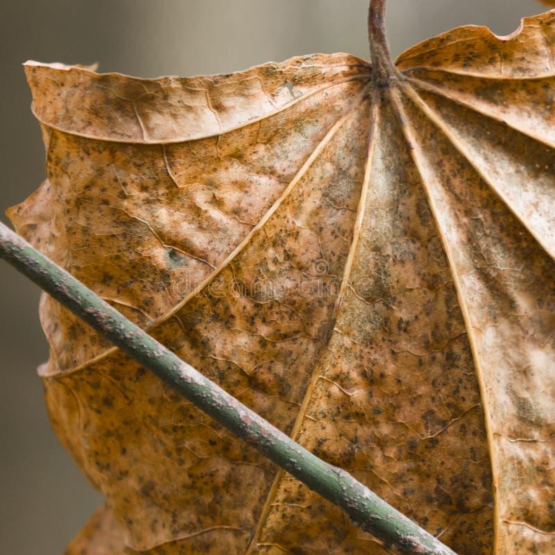 Foglio asciutto di autunno immagine stock libera da diritti