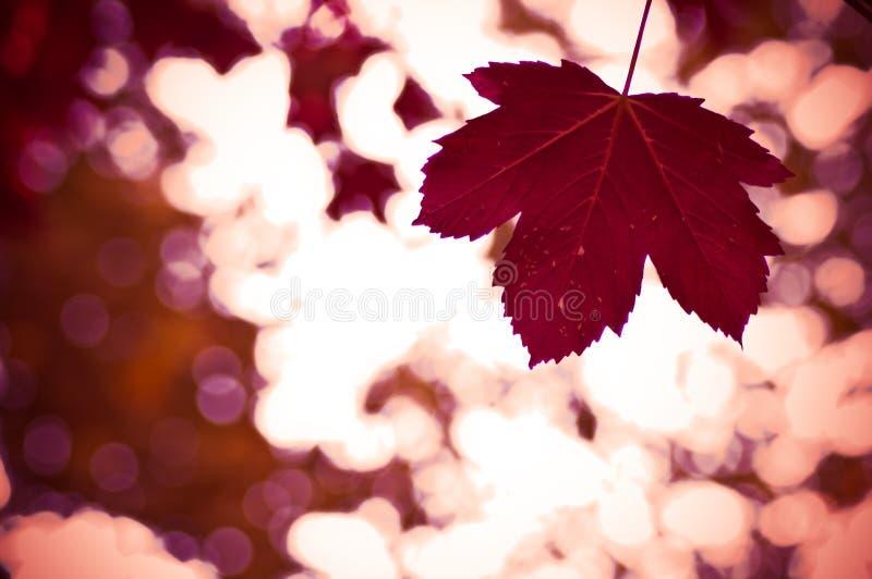 Foglio canadese rosso fotografia stock