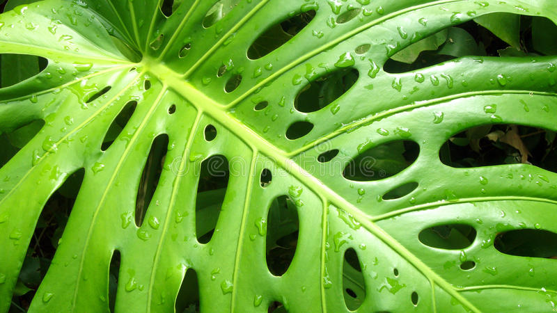 Foglio del Philodendron immagini stock libere da diritti